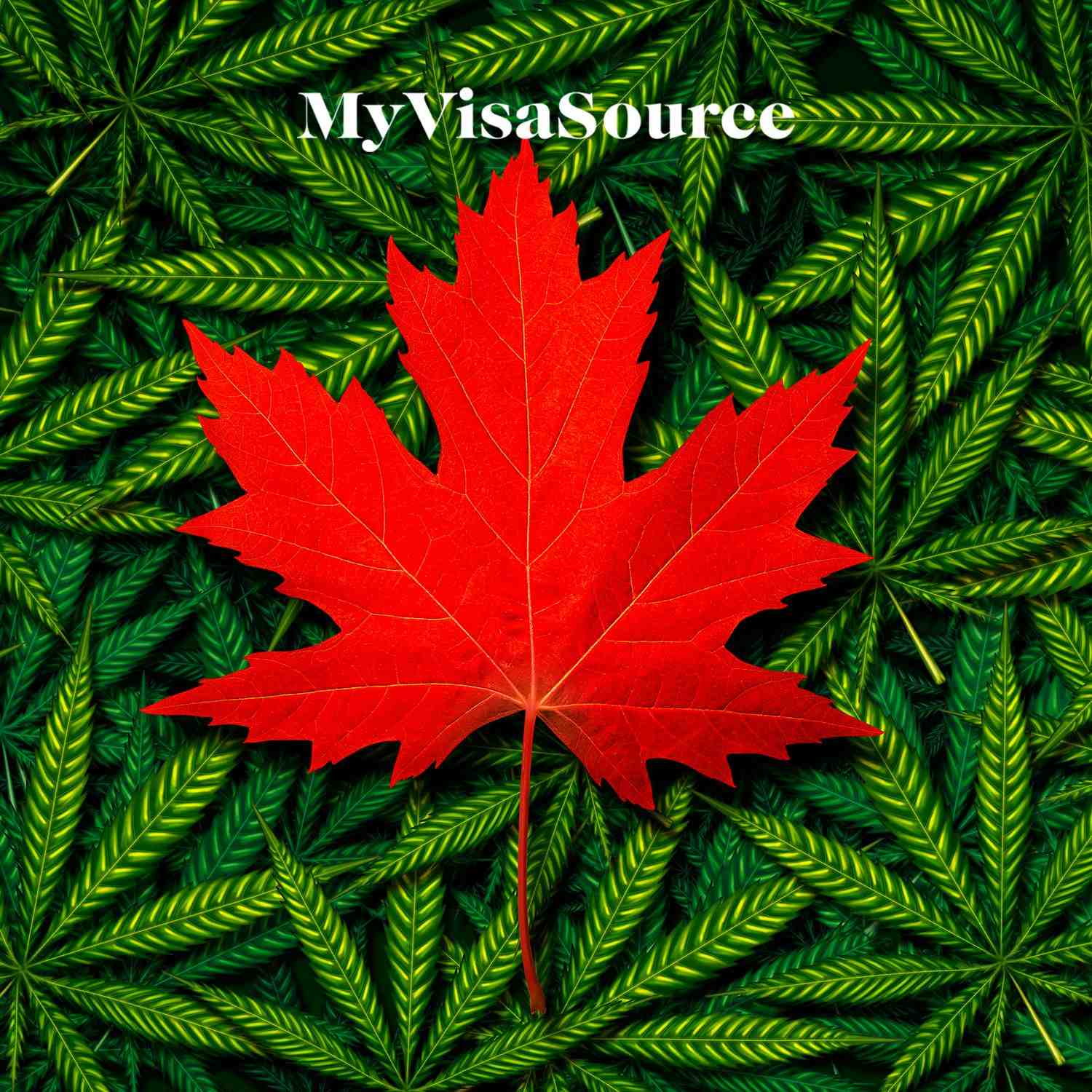 marijuana leaves with a canadian red maple leaf on top my visa source